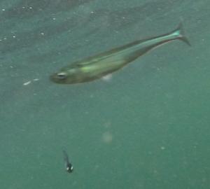 イワシと何かの幼魚