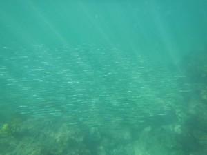 沖ノ島の魚の群れ