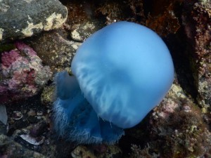沖ノ島でみた謎の紫色のクラゲ