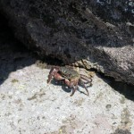 沖ノ島のカニ