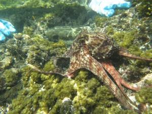 芝崎海岸の真蛸
