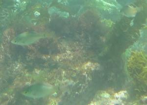 芝崎海岸の魚3匹
