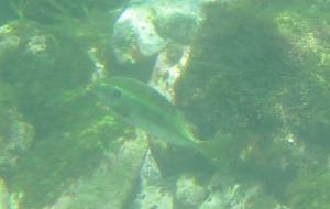 芝崎海岸名前のわからない魚