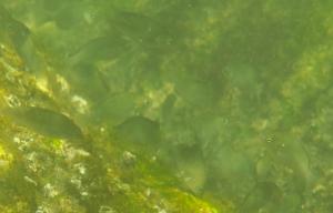 三浦海岸の小魚