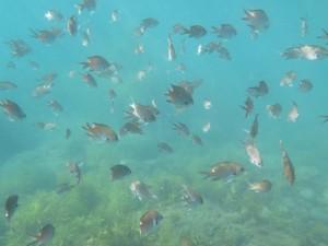 トガイ浜でみれる魚の群れ